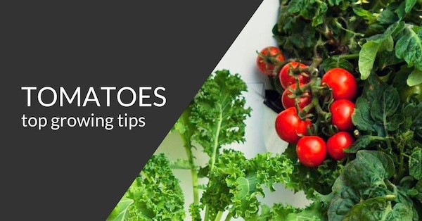 tomato growing tips